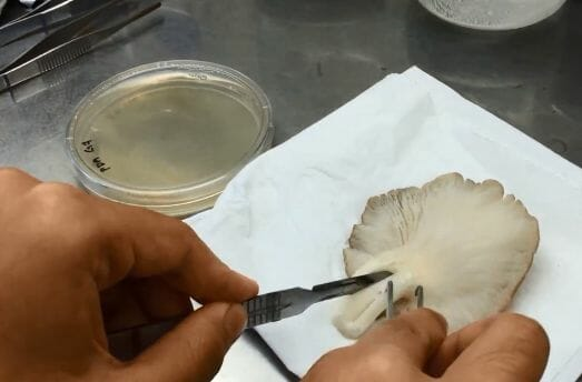 seta-cultivo-agar