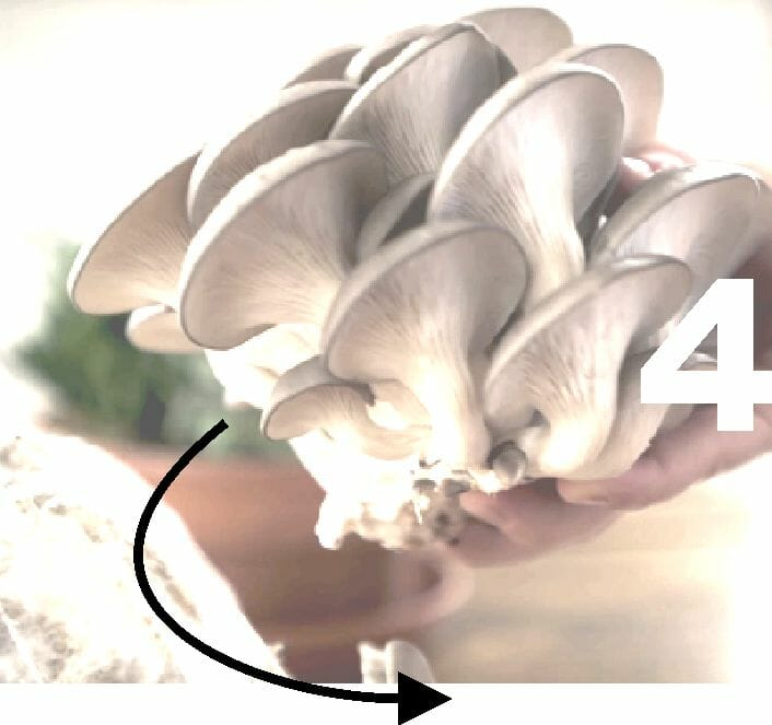 kit-cultivo-setas-recoleccion