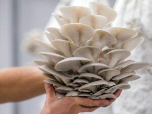 seta ostra kit cultivo